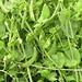 Photo: Garden Pea
