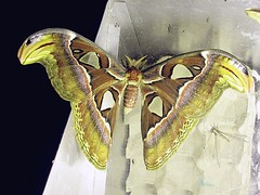 SAT Attacus atlas (hkmoths) Tags: hongkong moth lepidoptera atlas attacus taipo attacusatlas atlasmoth saturniidae shalotung mothmania awesomebug hongkongmoths arkprojecthk