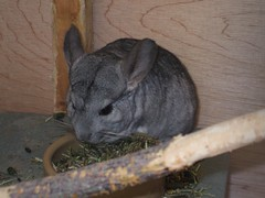 Chinchilla (Queenbie) Tags: chinchilla petscorner hazleheadpark
