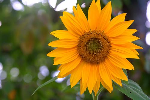 Fleur mathématique de Fibonacci