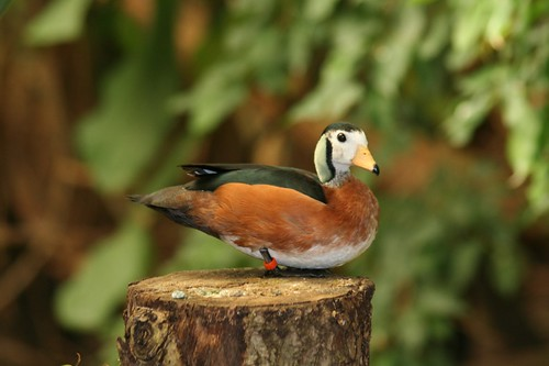 geese Nettapus auritus