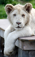 White Lion Cub (photographerglen) Tags: favorite beautiful animal closeup canon zoo cub lion explore bigcat 200views popular rare 1000views whitelion mogo 2000views 3000views 1200views 4000views 1500views 1400views 1600views 1700views 100comments flickrdiamond 50comments excapture 50favorite