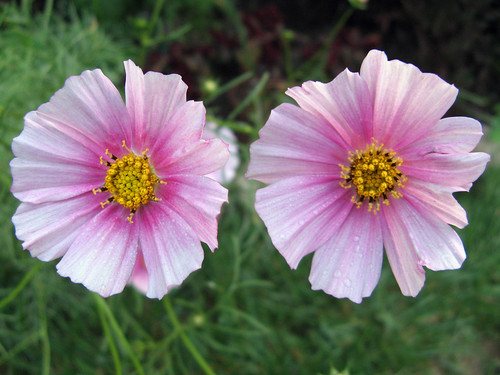 Late cosmos in bloom