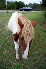DSC_5246 (Stacey Conrad) Tags: horse nikon assateagueisland d80