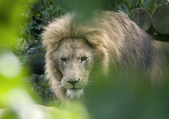Spotted #1 (Al...) Tags: park uk trees eye cat zoo big paradise lion run cover contact bushes hertfordshire onlythebestare