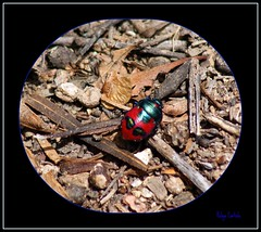 Beetle (kalart1) Tags: red green bug beetle australia westernaustralia picnik insecta hemiptera heteroptera jewelbug scutelleridae paganus choerocoris choerocorispaganus groundshieldbug niagradam