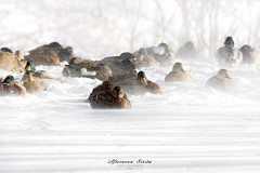 Siesta (Imapix) Tags: winter snow canada cold art nature canon photography photo duck foto photographie image quebec hiver qubec neige chill froid canard frisson malard imapix gaetanbourque imapixphotography gatanbourquephotography