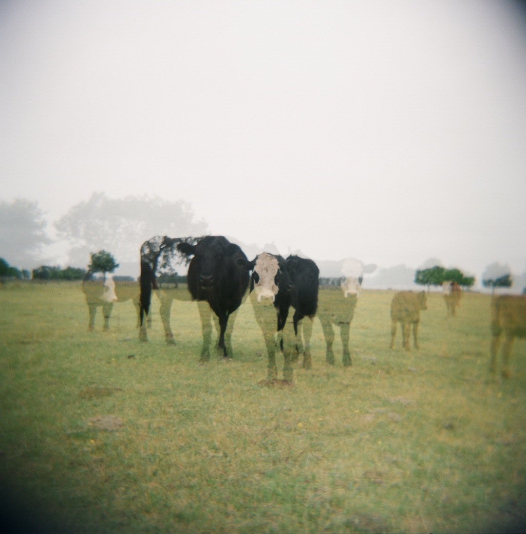Ghost Cows