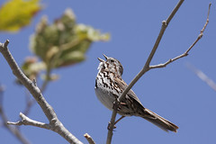 Song Sparrow in song