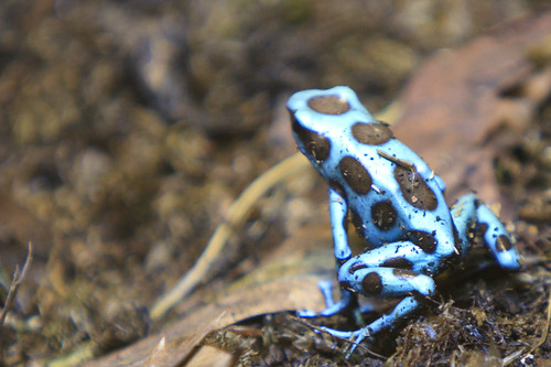 Reptilia - Blue Poison Dart Frog