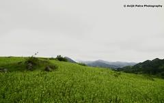 #199 Araku Valey coverde in Cloud (avipatra {Busy}) Tags: travel india tree green nature rain pine droplet drenched vizag araku valey avijit vishakhapattanam avipatra avijitpatra