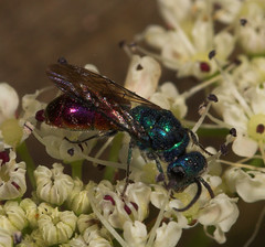 "Ruby Tailed Wasp • <a style=""font-size:0.8em;"" href=""http://www.flickr.com/photos/57024565@N00/532152383/"" target=""_blank"">View on Flickr</a>"