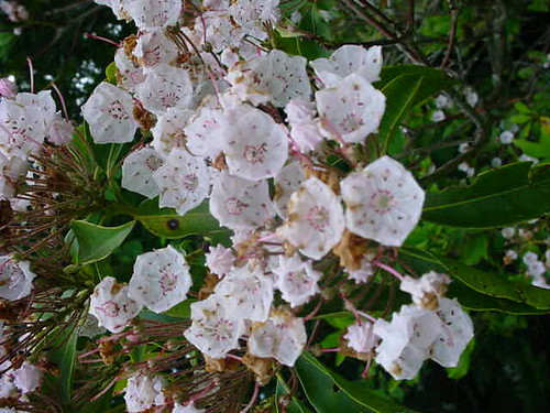 Mountain Laurel Blossoms