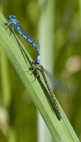 Marsh Bluets in tandem