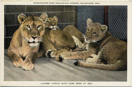 Postcard:  Lions of Milwaukee