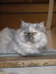 CALIPSO (giotto1959) Tags: cats green nature sergio animals cat persian grigio natura olympus greeneyes occhi sguardo gatto pensieri gatti animali persiano micio giotto gatta mici severa calipso occhiverdi olympussp500uz imperturbabile sguardoserio sguardofisso giotto1959 olympus500uzsp olympusuz500sp