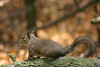 one wild one (MNesterpics) Tags: nature animal rodent nc squirrel wildlife northcarolina outerbanks obx corollanc mywinners jalalspagesanimalkingdomalbum jalalspagesanimalkingdom
