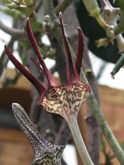 Ceropegia stapeliformis