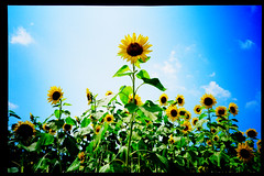 advance (moaan) Tags: life sky sun sunlight flower field ahead 28mm go bluesky sunflower positive 2007 hopeful f35 kodake100g sunflowerfield forwardlooking fullofhope minoltatc1 explored inlife liveinhope gettyimagesjapanq1 gettyimagesjapanq2