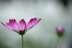 (rosemary*) Tags: flower topf25 5d cosmos 2007 tamron90