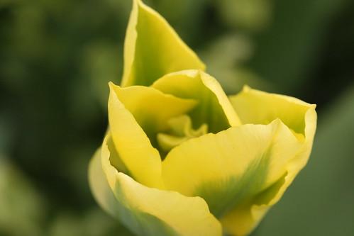 Yellow/Green Tulip