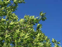 green and blue (Little Grey) Tags: blue sky tree green nature catchycolors greenisbeautiful brightcolors coolest colorandcolors greenandblue colormyworld earthnature nicepictures seeinggreen allthingsbeautifulinnature dramaticcolor freenature sosimplesobeautiful colorsclub