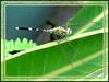 Slender Skimmer, Green Skimmer or Green Marsh Hawk (Orthetrum sabina sabina)