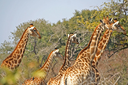 Giraffes - Kruger National Park by Rob Inh00d.