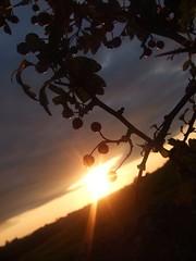Berries in an Irish sunset