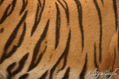 Tiger stripes (dickysingh) Tags: wild india nature outdoor wildlife bigcat aditya tigers predator ranthambore singh ranthambhore dicky tigerskin wildtiger bengaltigers ranthambhorebagh adityasingh dickysingh ranthamborebagh theranthambhorebagh