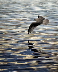 Soaring (Su Inc) Tags: park lake reflection bird water fly pattern seagull flight ripples waterton sonya100 photofaceoffwinner platinumheartaward pfogold fotocompetition fotocompetitionbronze fotocompetitionsilver