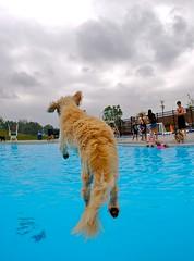 Shaker Heights Doggie Dip 2007 (Andrew Morrell Photography) Tags: dog alex swimming swim puppy jump canine sammy wetdog doggiedip doggydip