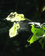 Basswood leaves in September