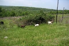 Ideal goat pasture