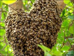mas de pertinho agora.. (amanda.melo) Tags: paraná brasil natureza bee abelha coração cascavel sonyh7