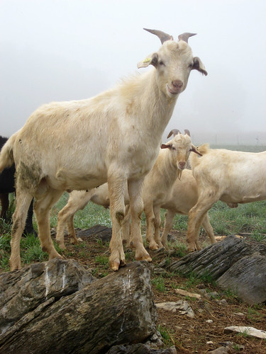 tails of wooled lambs be