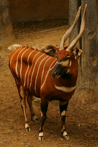 Bongo at the Zoo