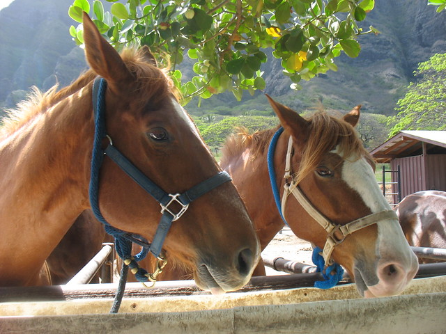 horses at Kualoa Ranch