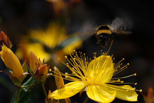 Flying Bumble