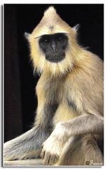 The Mirror (FRANCO_JO) Tags: india nature nikon poetry poem wildlife hanuman monkeys chennai graylangur