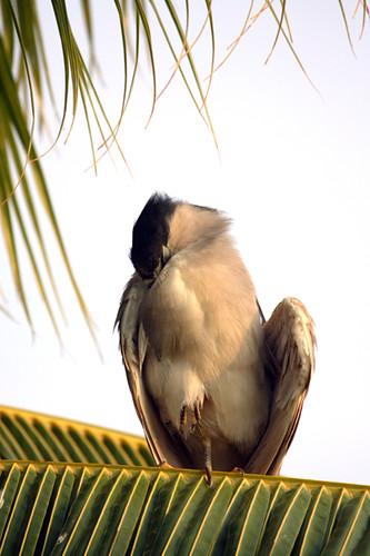 King's Shops - Black-crowned Night Heron (Nycticorax nycticorax)