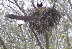 Fort Donelson Kentucky (MN Photos) Tags: eaglesnest eagles baldeagles