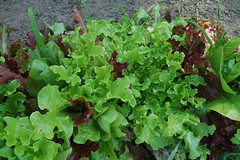 The lettuce is looking good too!