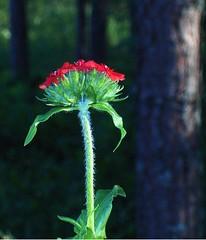 Burning Love (Elsa Kurppa) Tags: red flower suomi finland blomma 2007 красный röd punainen kukka burninglove цветок lychnischalcedonica brennendeliebe финляндия palavarakkaus brinnandekärlek elsakurppa
