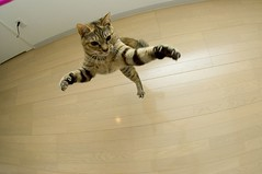 1 (junku) Tags: cats japan cat fun jump jumping nikon kitten d70 kitties  kin   sigma15mmf28exfisheye airbornecat airbornecats
