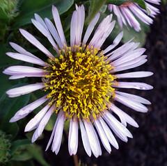 Another Day Another Daisy! (Jus'fi) Tags: macro daisy naturesfinest masterphotos abigfave impressedbeauty ultimateshot superbmasterpiece diamondclassphotographer flickrdiamond macrophotosnolimits fifikg
