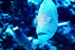This is my good side (Star Lit Lotus) Tags: blue beautiful aqua neon beautifulfish