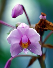 /Spathoglottis plicata (nobuflickr) Tags: orchid flower japan kyoto spathoglottisplicata supershot thekyotobotanicalgarden superbmasterpiece diamondclassphotographer flickrdiamond themacrogroup