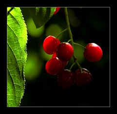 Wild Cherry (Julien Robitaille Photographie) Tags: fruits bravo searchthebest charlevoix stlawrenceriver greenandred naturesfinest wildcherry wildcherries supershot flickrsbest mywinners abigfave ediblewildfruit anawesomeshot infinestyle bratanesque naturewatcher fruitssauvages fruitssauvagescomestibles cerisessauvages icecanoeracing julienrobitaille ilseauxcoudres