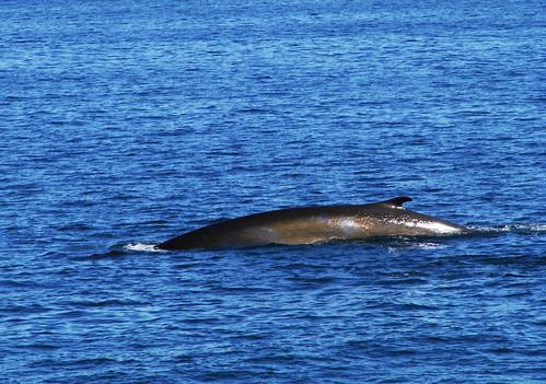 Baleine-en-mer-de-fleuve